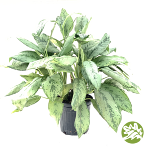 "AGLAONEMA BJ Freeman 8"" pot"